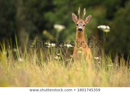 小さな · 好奇心の強い · 鹿 · バック · 森林 - ストックフォト © taviphoto