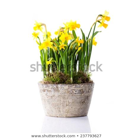 Geel narcissen pot bush wild groene Stockfoto © zhekos
