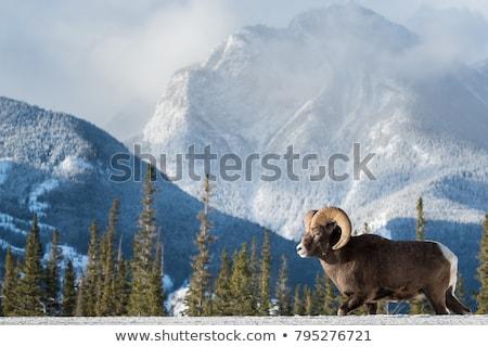 Bighorn Sheep in winter in Alberta Canada Stock photo © pictureguy