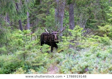 молодые лося Норвегия за дерево природы Сток-фото © compuinfoto