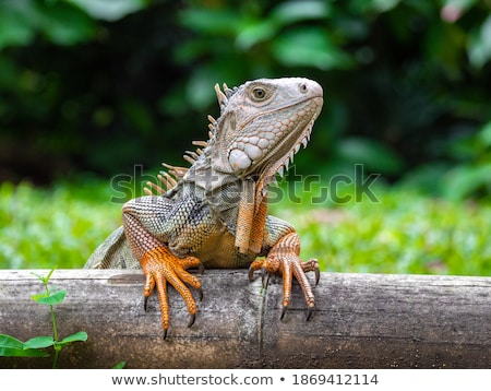 Colorful lizard on wooden log Stock photo © colematt
