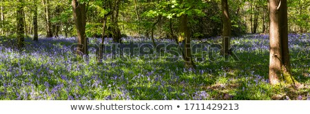 Springtime bluebell flowers grow wild in woodland Stock photo © sarahdoow