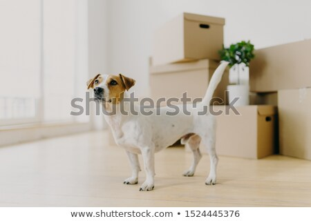 Photo of jack russel terrier dog stands in empty room against stacks of cardboard boxes, looks into  Stock photo © vkstudio