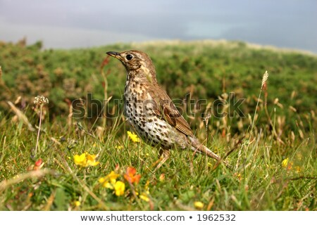 A song thrush, Isles of Scilly, UK Stock photo © latent