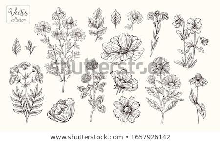 chamomile and peonies Stock photo © bendzhik
