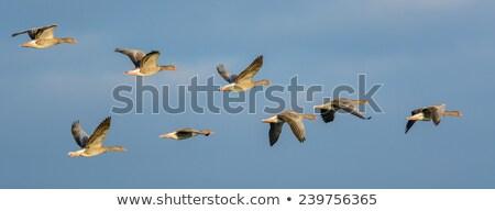 ganso · vuelo · azul · alas · lago - foto stock © mobi68