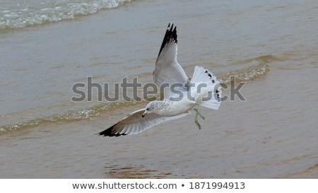 чайка озеро морем птица птиц крыльями Сток-фото © mobi68