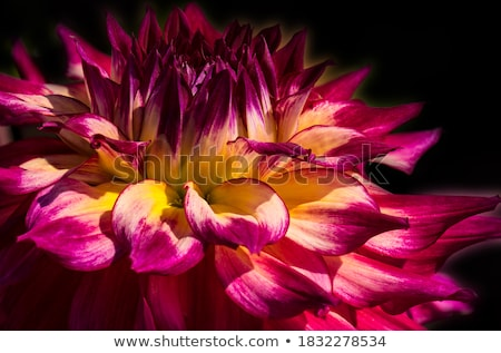 Stockfoto: Geel · dahlia · witte · bloem