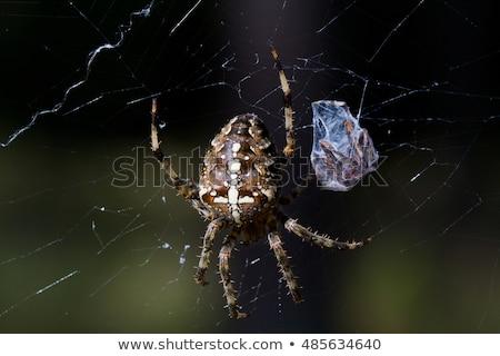 the european garden spider araneus diadematus cross spider stock photo © stocksnapper