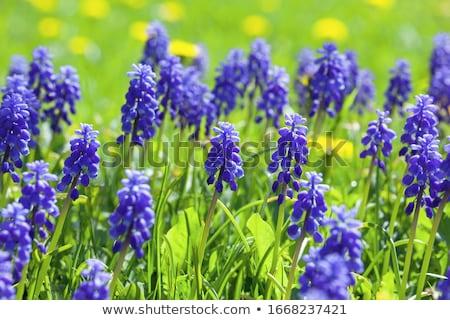 Kicsi lila virág makró lövés pici lila Stock fotó © macropixel