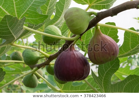 figs in tree Stock photo © tdoes