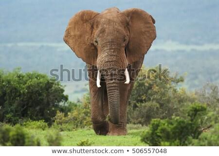 Kavga fil iki Afrika Stok fotoğraf © timwege