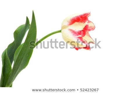 Tulipe triomphe isolé blanche fleurs printemps Photo stock © Photocrea