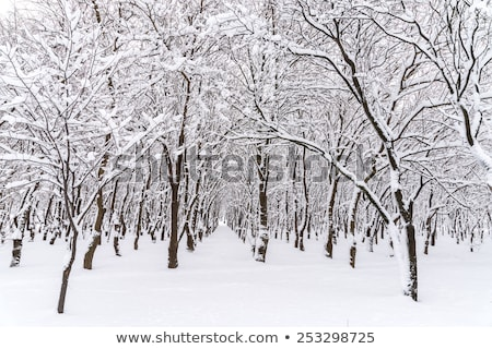 birch branches covered with frost Stock photo © Mikko
