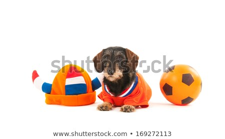 merő · fajta · bika · kutya · gondolkodik · néz - stock fotó © ivonnewierink
