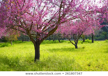 Blooming double cherry blossom tree stock photo © shihina