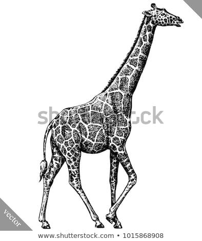 Afrika · hayvanlar · örnek · çizim · oyma · mürekkep - stok fotoğraf © kali
