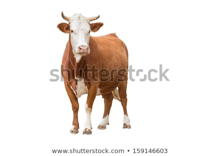 Brown Cow With Horns stock photo © rhamm