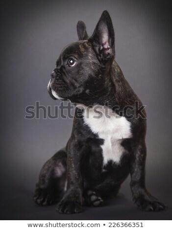 pppy french bulldog stock photo © oleksandro