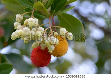 arbutus unedo berry stock photo © smithore