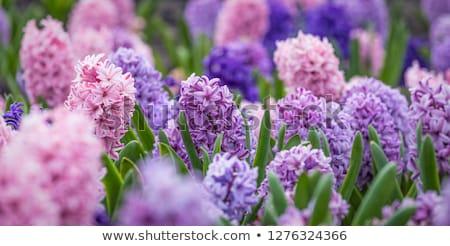 Purple hyacinth flowers. Stock photo © EFischen