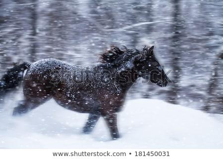 horses running in winter canada stock photo © pictureguy
