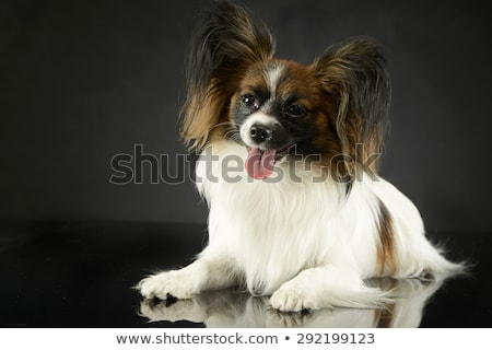 cute papillon relaxing in dark photo studio stock photo © vauvau