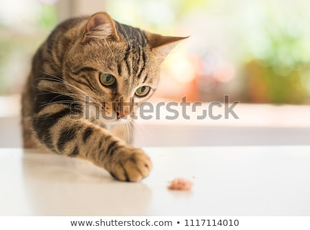 portrait of a cat Stock photo © val_th