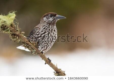 Spotted nutcracker bird on twig Stock photo © prill