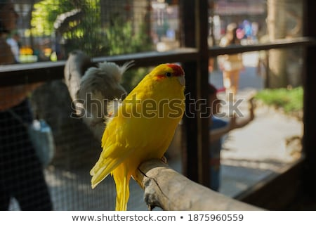 Red-crowned parakeet in studio Stock photo © cynoclub