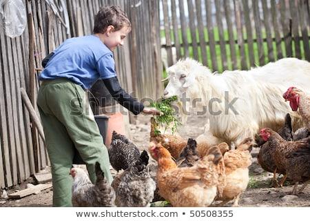 Farm Boy Chicken Feed Stock photo © lenm