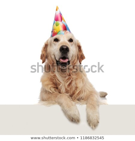 panting birthday labrador lying with legs hanging looks up stock photo © feedough