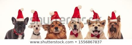 adorable · perro · invierno · suéter · pequeño - foto stock © feedough