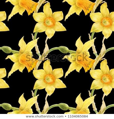 Botanikus művészet vízfesték nárcisz virág virág vektor Stock fotó © balasoiu