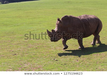 белый Rhino работает трава ЮАР природы Сток-фото © simoneeman