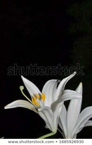 два · желтый · Лилия · изолированный · белый · цветок - Сток-фото © ansonstock
