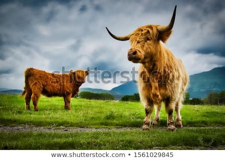 vaca · prado · grama · cabeça · animal - foto stock © hofmeester