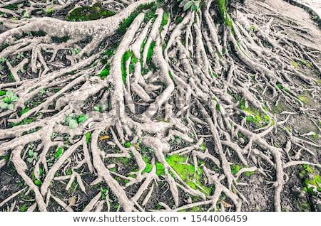 Wortels sparren boom grond tak groei Stockfoto © martin33
