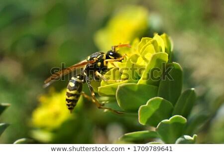 黒 ワスプ 緑 自然 庭園 ストックフォト © sweetcrisis