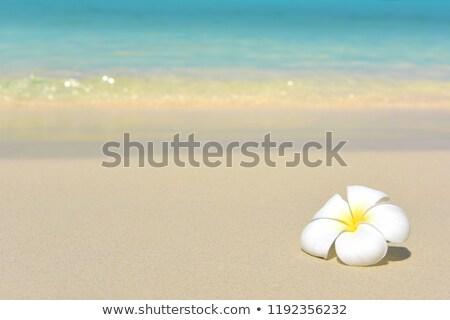 Yellow frangipani on sand stock photo © calvste