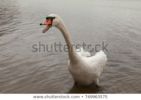 Hissing goose Stock photo © macropixel