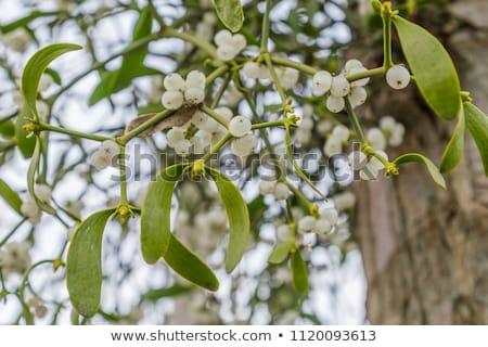 ökseotu ağaç şube mavi gökyüzü yaprak meyve Stok fotoğraf © samsem