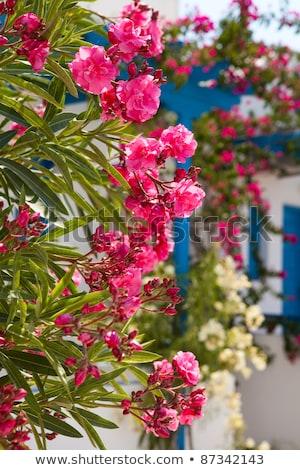розовый · цветы · Санторини · Греция · Церкви - Сток-фото © ElinaManninen