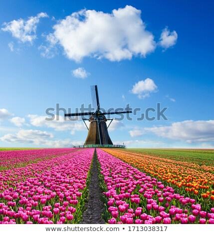 Tulipánok szélmalom hagyományos holland rózsaszín mező Stock fotó © macsim