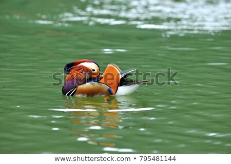 Mandarim pato barco belo masculino em pé Foto stock © Elenarts