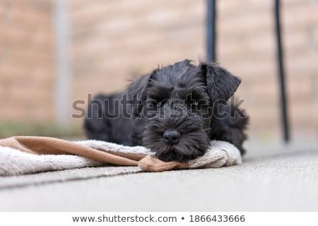 little minuature schnauzer puppy dog stock photo © tobkatrina