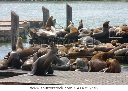 San Francisco Pier 39 seagull and seals at California Stock photo © lunamarina