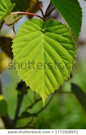 Pomba árvore lenço primavera jardim Foto stock © Arrxxx
