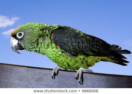 Jardine Parrot Stock photo © vanessavr
