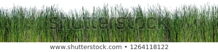 Macska fű izolált fehér természet háttér Stock fotó © natika